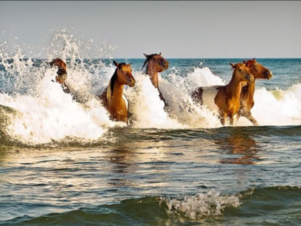 Assateague Island - wild horses. It looks like soooo much fun to run in the waves! A Poem & Tribute to the Assateague Horses by Heidrun Metzler. Author of Skeeter's Dreams. Sunshine and water is all I need. And sand to stick in my feet. Foaming waves splashing around my ears. Whispering oceans, calling, washing away my fears. The sweeping surf's radiant glow, cast by the setting sun. Invigorates, as we gallop through our reflections with endless fun.