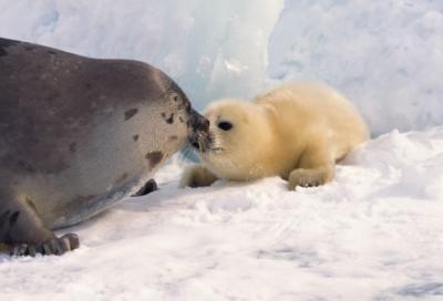 Baby Phoque bébé phoque | aminals. | pinterest | harp seal, pup and seal