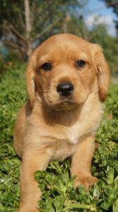 Cavador Puppies For Sale Pines Pets Puppies For Sale Puppies Puppy Breeds