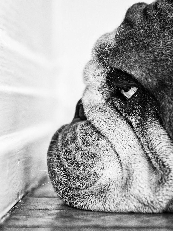 Bulldog Life Is So Hard Dog Photograph Pet Dogs Dog Photography