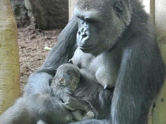 "sixpenceee: ""Meet Ngozi, a western lowland gorilla and her newborn (January, 2014) (Source) """