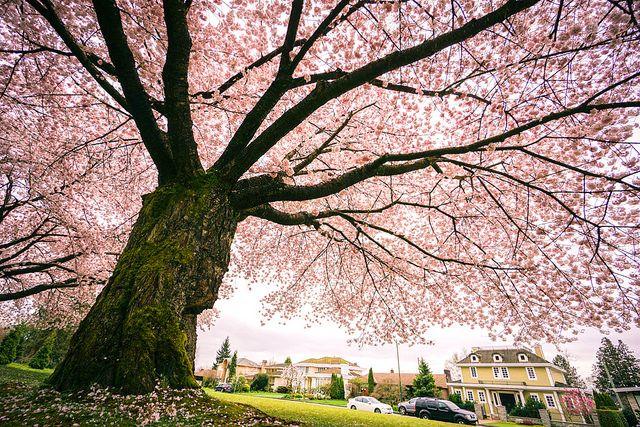 Under The Flowering Tree Ii Flowering Cherry Tree Flowering Trees Cherry Blossom Tree