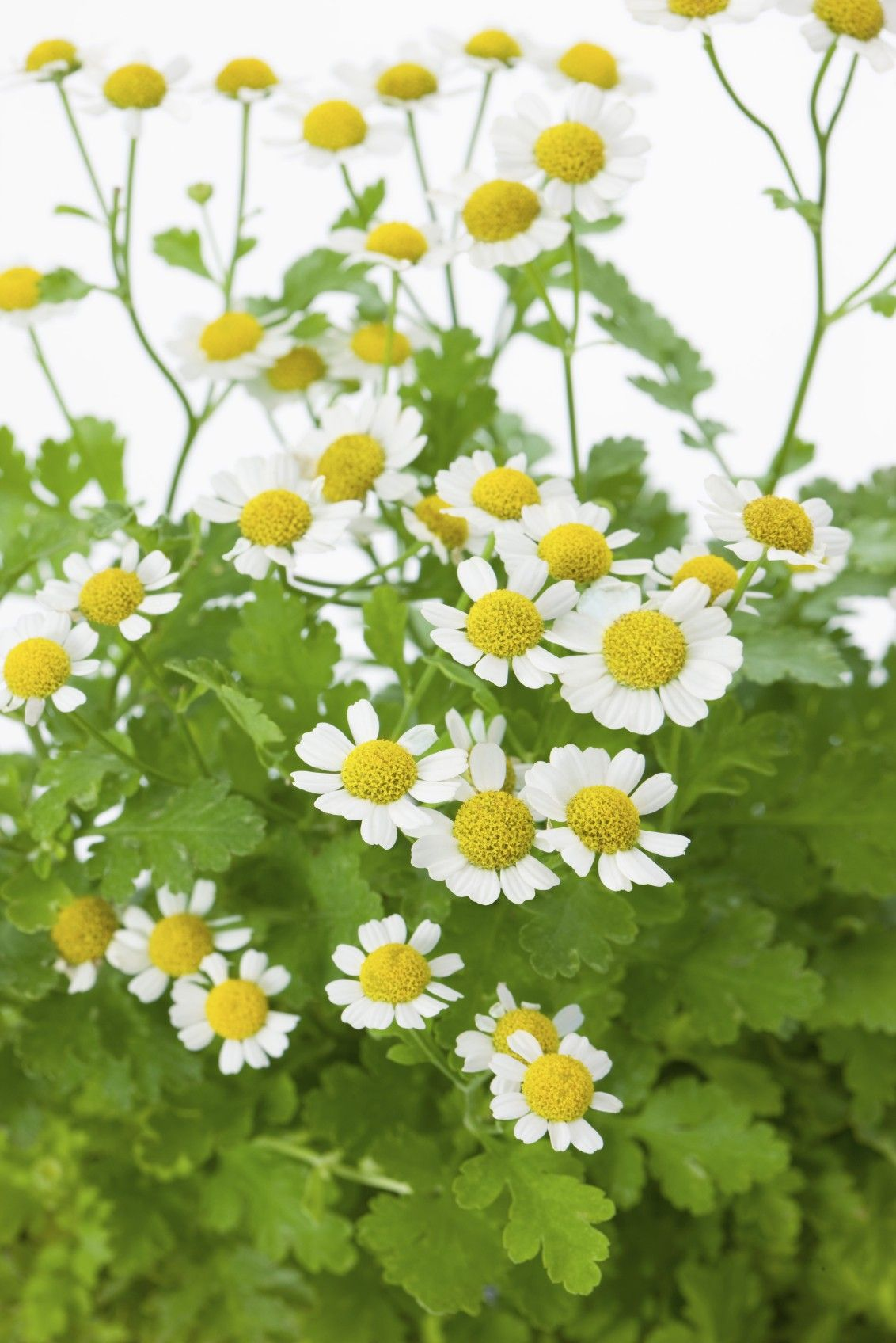 Feverfew Plant Harvesting Learn When To Harvest Feverfew Leaves Feverfew Plant Herbs Medicinal Plants