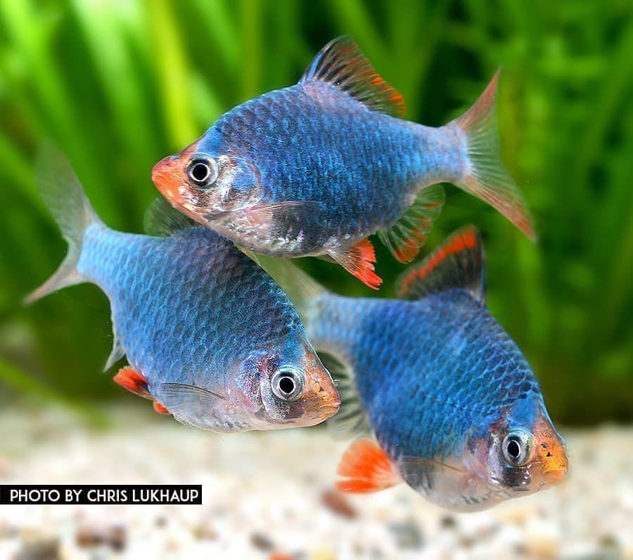 Freshwater Fish Community On Instagram Repost From Chrislukhaup Barby From Garneliode Denn Fresh Water Fish Tank Tropical Fish Aquarium Aquarium Fish