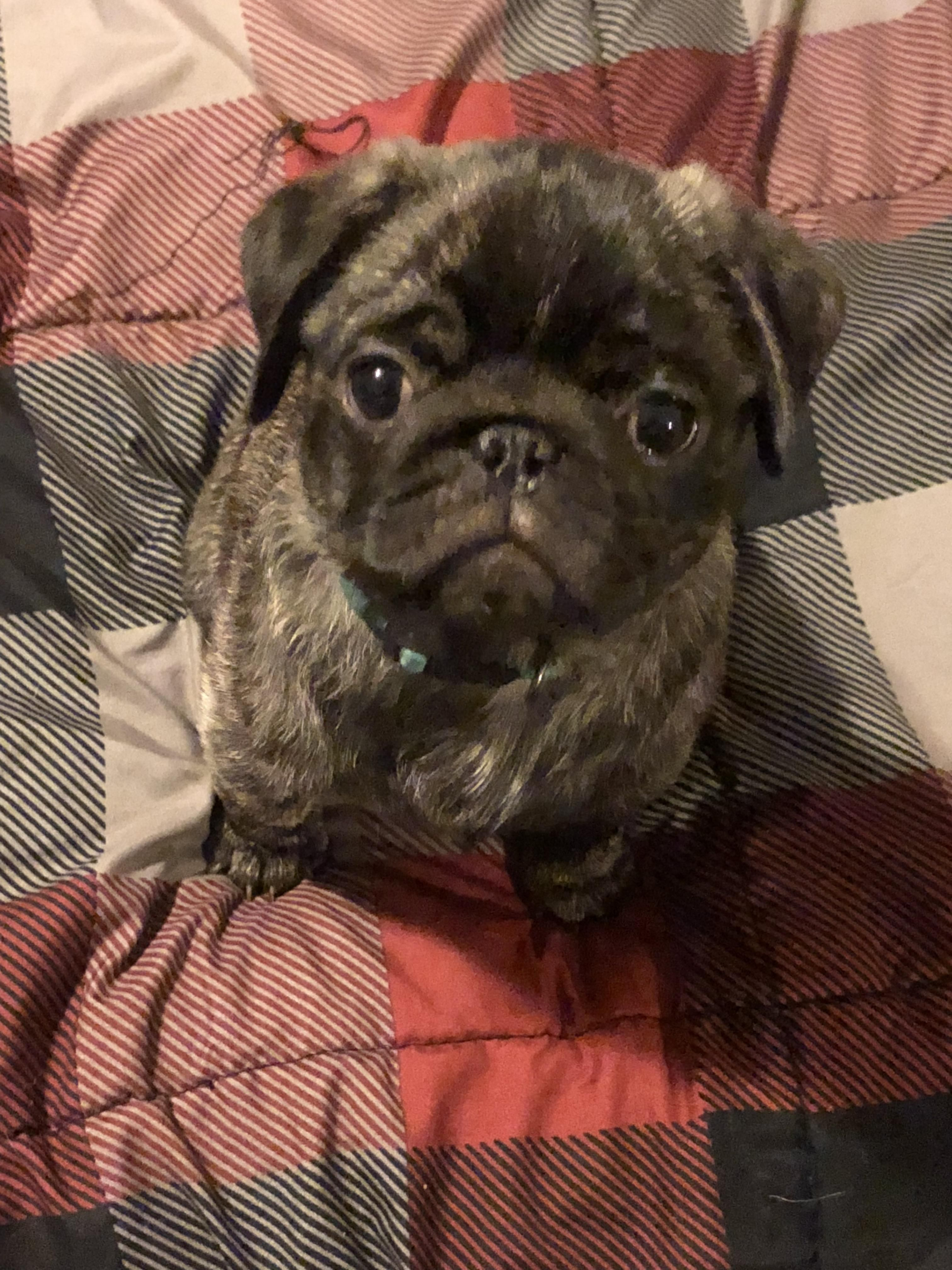 Pin By Dennis Green On Pug Funny Pugs Cute Dogs Cute Piglets