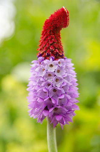 Himalayan Primula