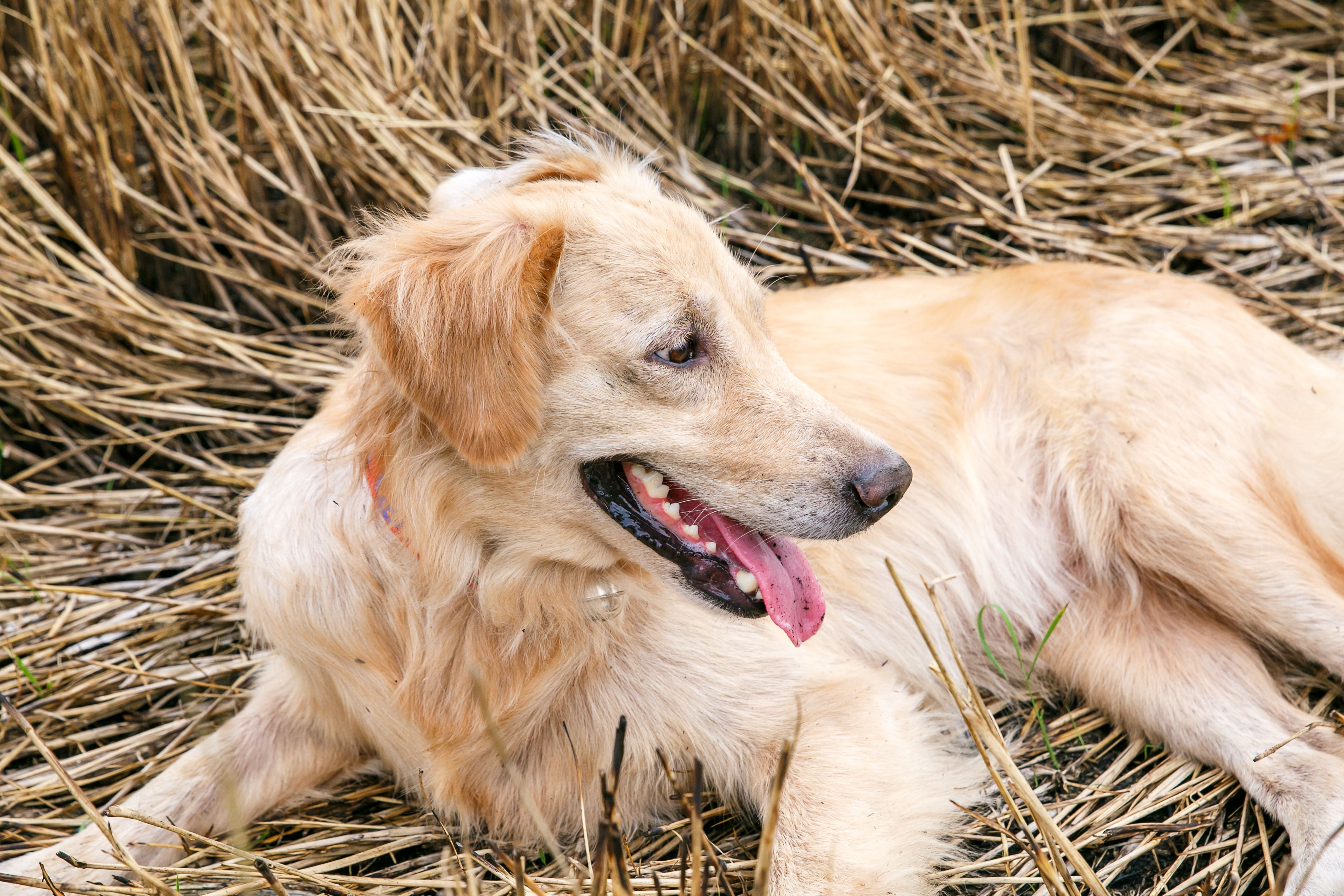 Emotion Young Female Golden Retriever Lay Down At Old Rice Straw After Play Puppy Dog Female Golden Retriever Golden Retriever Puppies
