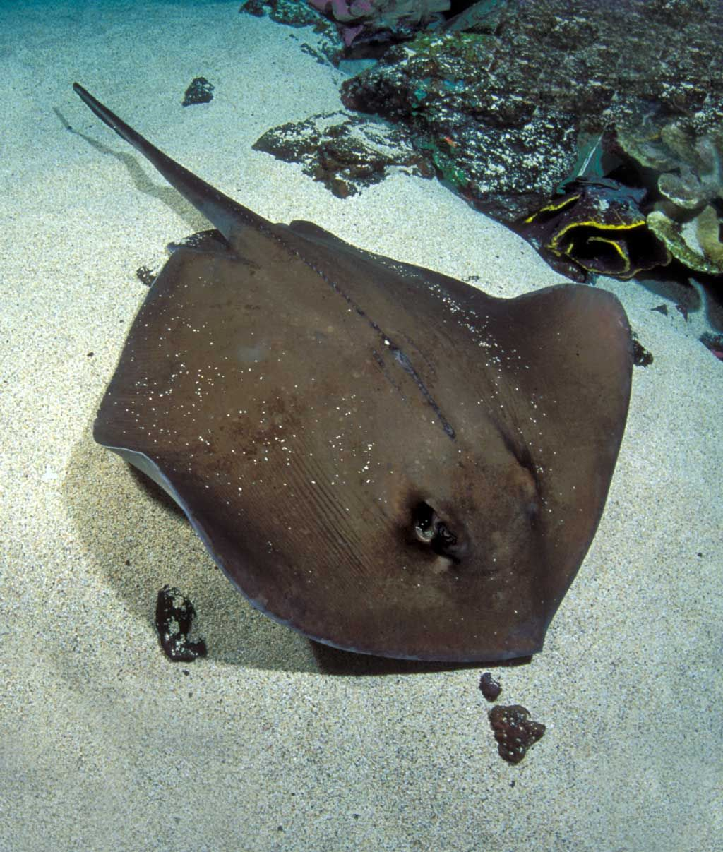 Brown Stingray In Keys Spots '