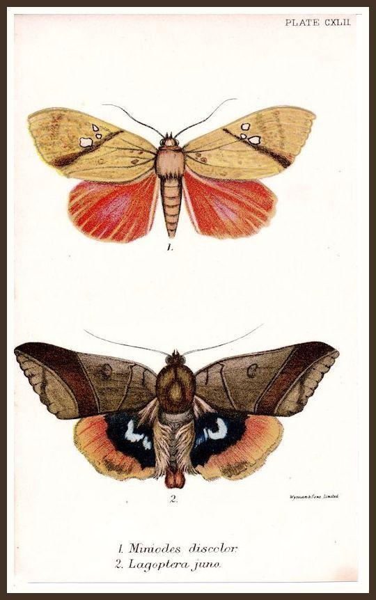 Moths Miniodes discolor,  Lagoptera juno vintage chromolithograph print reproduction
