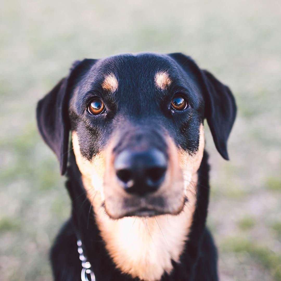 Oza the 3yr old Black and Tan Coonhound / Rottweiler mix ...