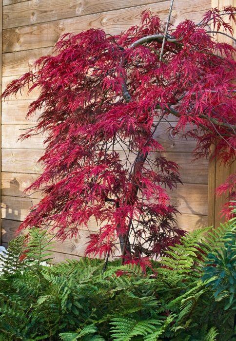Planter Erable Du Japon : planter, erable, japon, Planter, érable, Japon, Arbre, Jardin,, Petit, Jardin, Idées