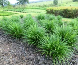 JUST RIGHT® Liriope is a more uniform evergreen landscape plant ...