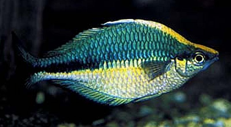 Turquoise Rainbowfish Melanotaenia Lacustris Rainbow Fish