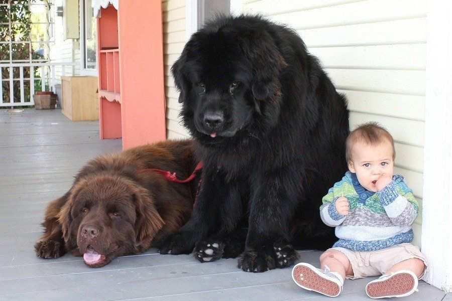 Giant Dog Breeds An Informative Guide And List Of Giant Dogs In 2020 Giant Dog Breeds Giant Dogs Newfoundland Dog Puppy