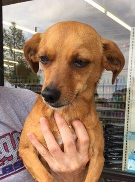 Chiweenie Dog For Adoption In Pawtucket Ri Adn 526782 On