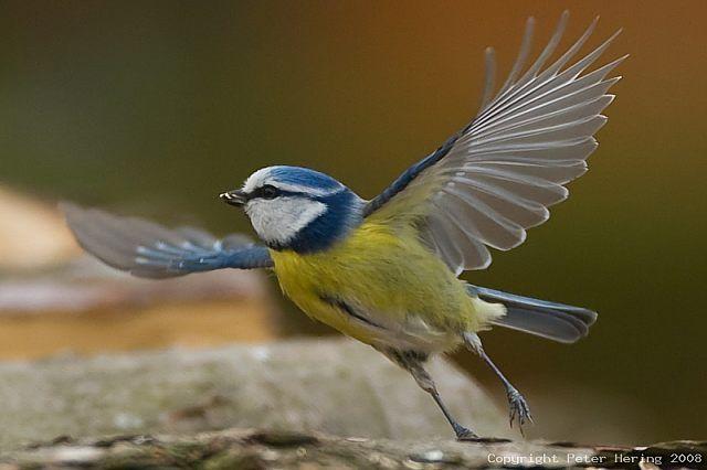 Blaumeise Parus Caeruleus Info A Z Die Vogelarten Auf Runde In Der Her Y Kommune Norwegen Norge Norway Blaumeise Meise Vogelarten