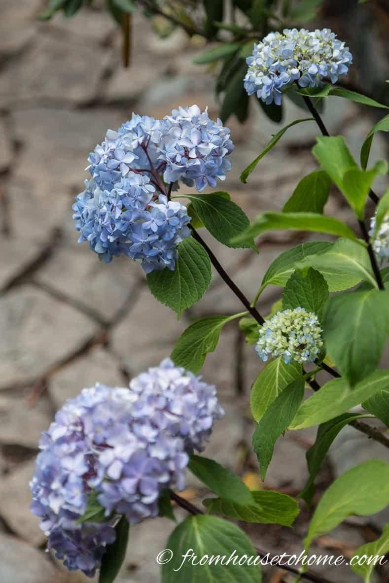 Why Are My Hydrangeas Not Blooming Hydrangea Not Blooming Smooth Hydrangea Flowers Perennials