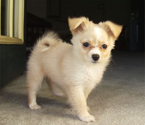 It Looks Like My Dog When She Was A Puppy 3 Pomchipower