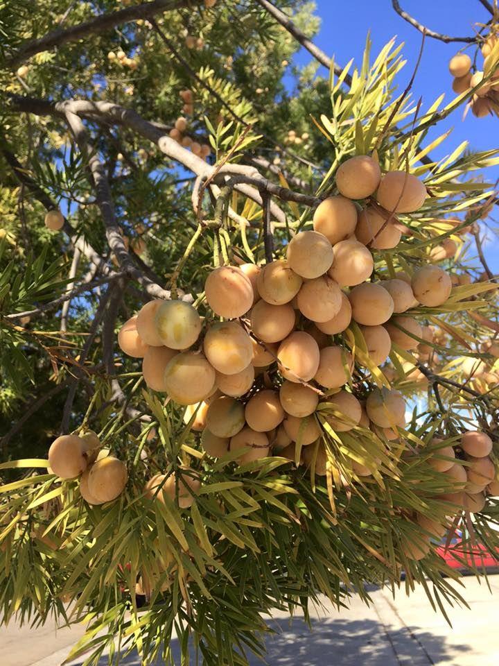 Russian Olive Ornamental Trees Little Garden Plants