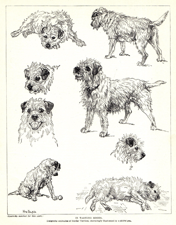 1930 S Antique Border Terrier Dog Art Print Vintage Vere Temple Border Terrier Illustration Print Gift For Men Dog Lover 5 In 2020 Dog Print Art Border Terrier Dog Art