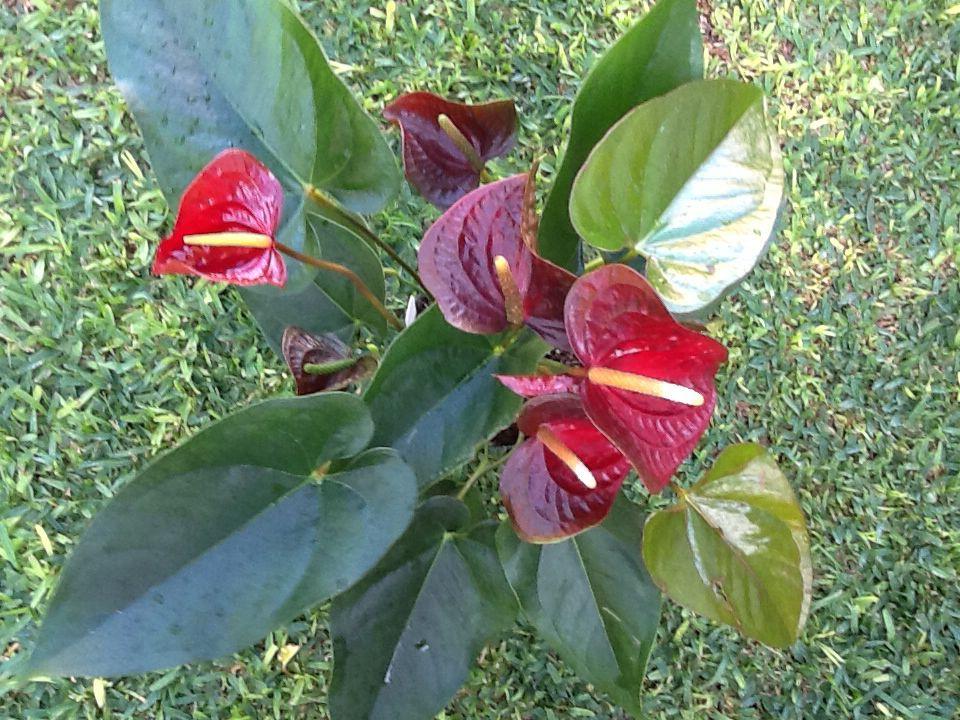 Anthurium Otazu Anthurium Plants Garden