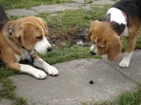 Beagle Vs Bumble Bee I Hope They Didn T End Up Getting Stung