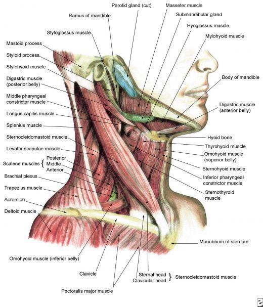 Human Anatomy and Physiology of Muscles | Neck muscle anatomy ...