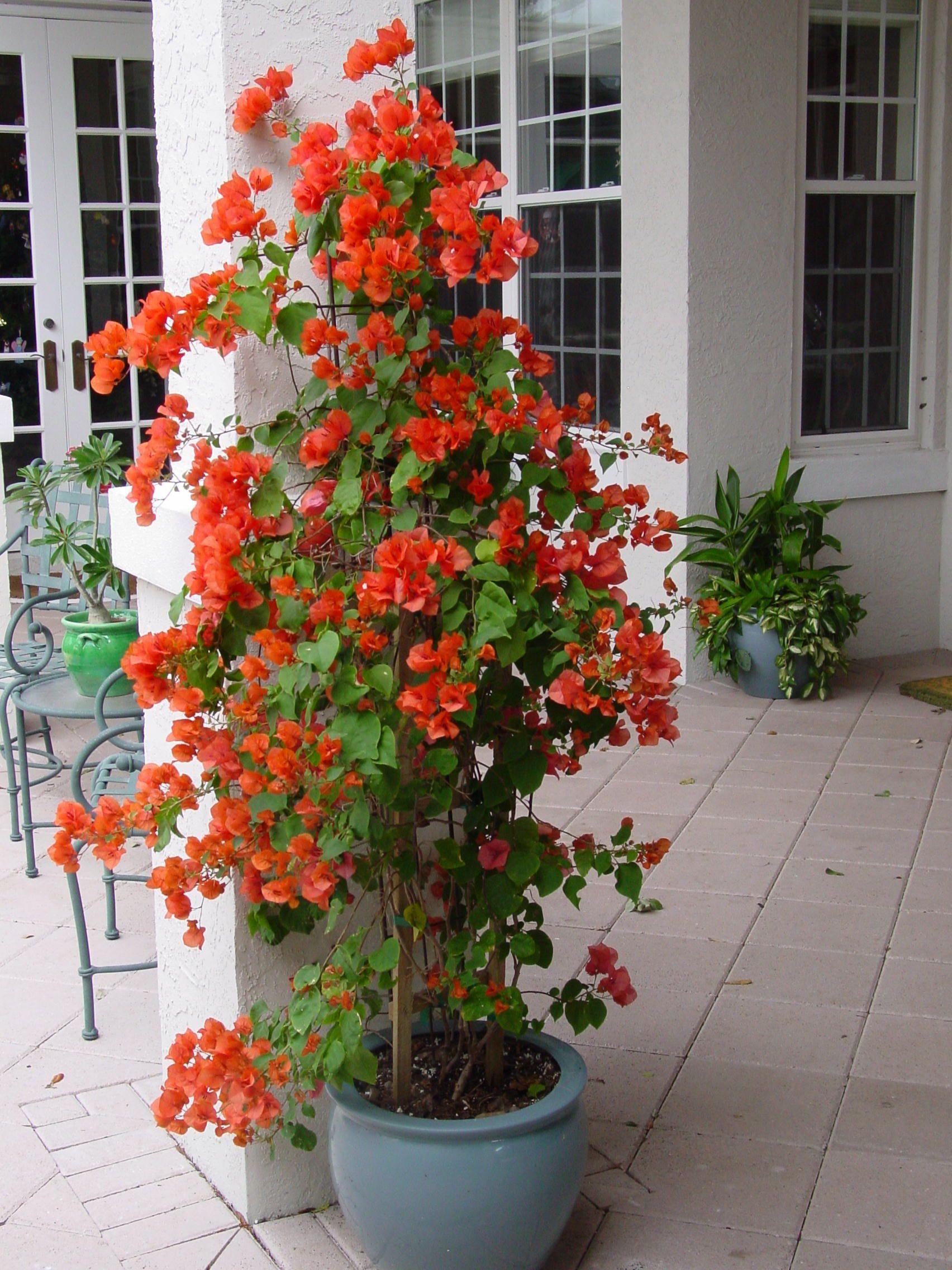 Love This Color Of Bouganvilla Container Garden Design