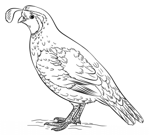 California Valley Quail Coloring Page Free Printable Coloring Pages California Poppy Drawing Drawings Bird Drawings