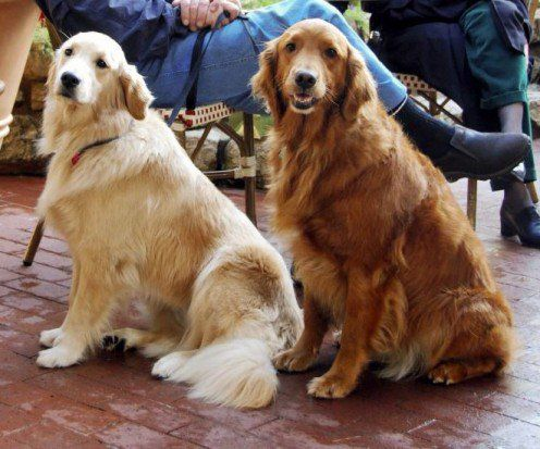 The Truth About English Cream White Golden Retrievers Dogs