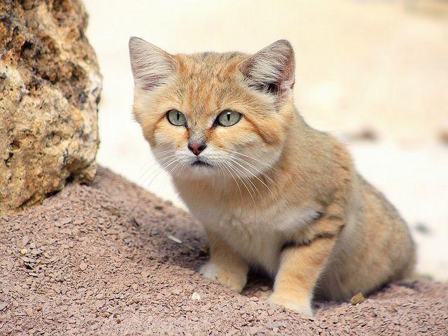 Chat des sables ou chat du désert  by home77_Pascale, via Flickr