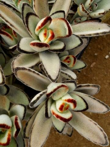 Kalanchoe Tomentosa Cultivar European Clone With Images