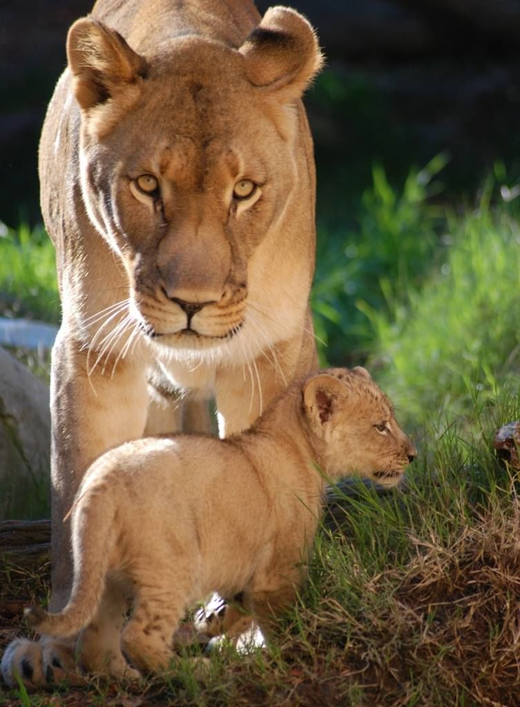 male lion with cubs - 753×1024