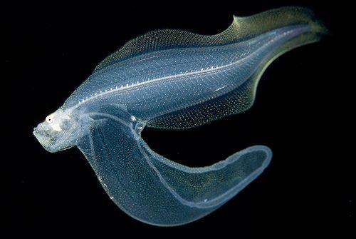 Deep Sea Cusk Eel