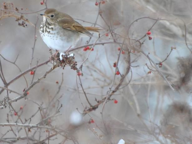 Bayberries  are one of the best plants you can add to your backyard. They are rich in nutrients and high in fat. This hermit thrush perches on another common berry found in North America,  bittersweet .