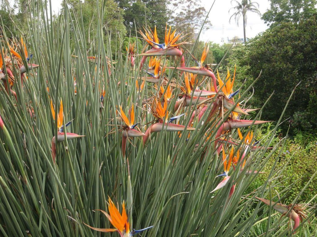 Strelitzia Juncea World Of Flowering Plants Planting Flowers African Plants Birds Of Paradise