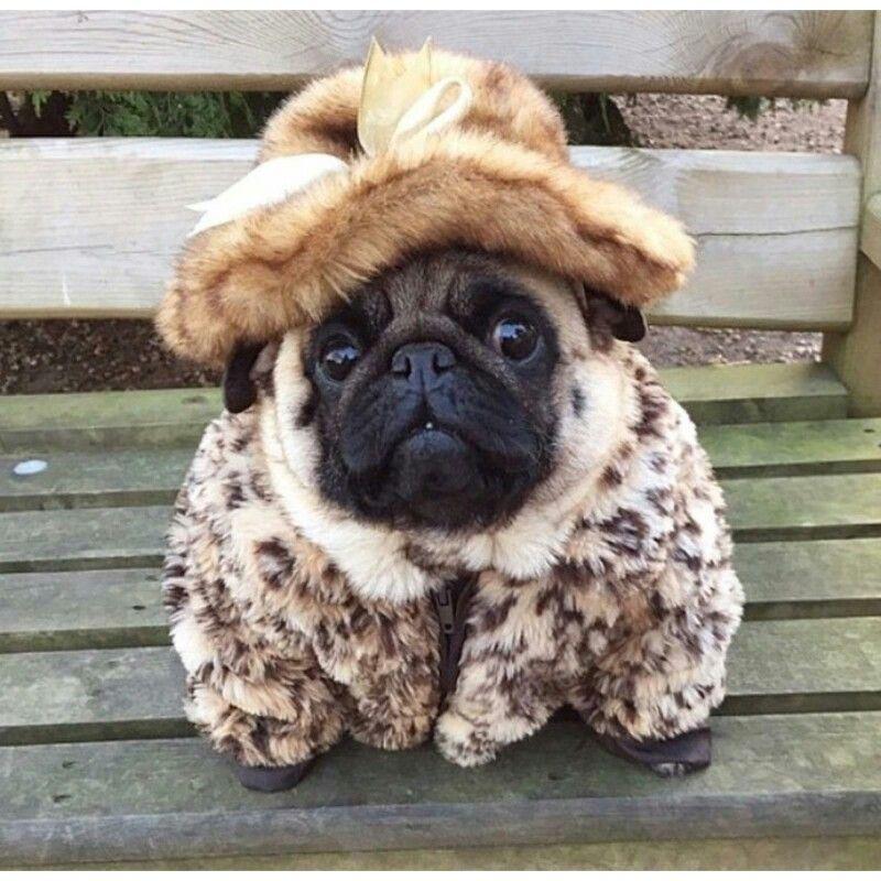 Fur Coat Pug Pugs Funny Dogs