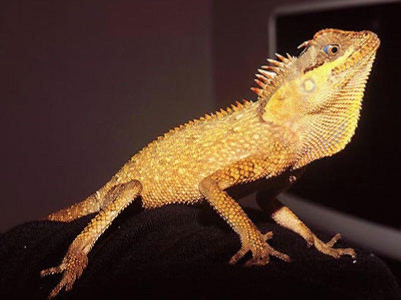 ベトナムクシトカゲ 爬虫類 トカゲの基本的な知識と飼い方 トカゲ 爬虫類 両生類