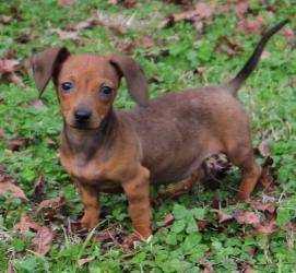 Adopt Aerial On Adoptable Dachshund Dog Kitten Adoption Pets