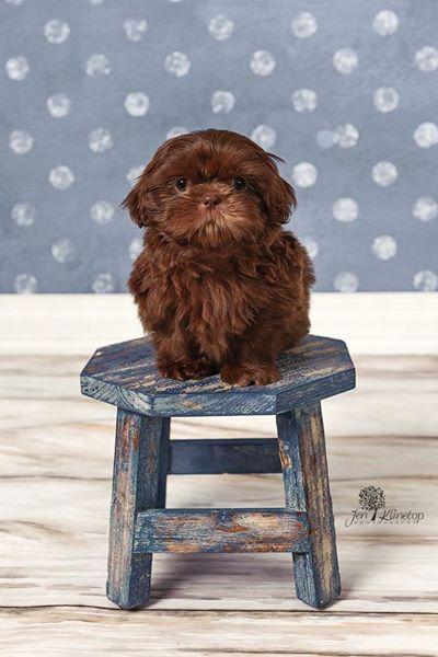 Kingsley Chocolate Shih Tzu Cathie5683 Shih Tzu Dog Baby