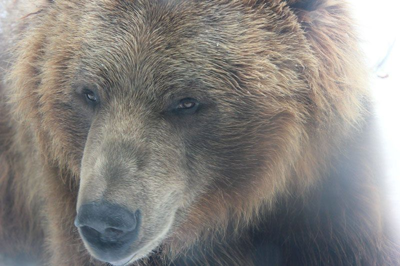 Bear with me! close-up-of-brown-grizzly-bear-at-columbus-zoo