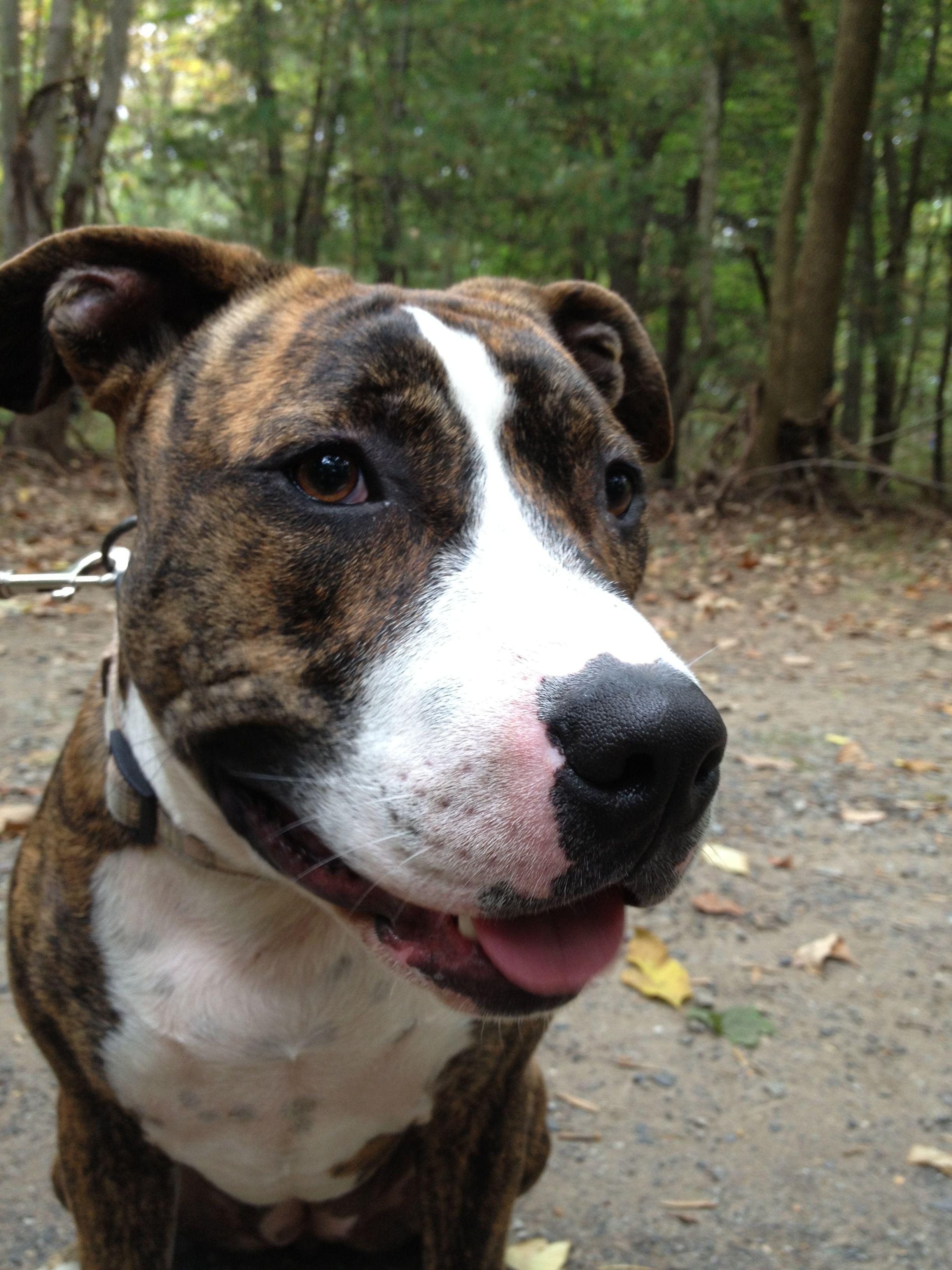 Smiling purty pitty Dogs, Pitbulls, Animals