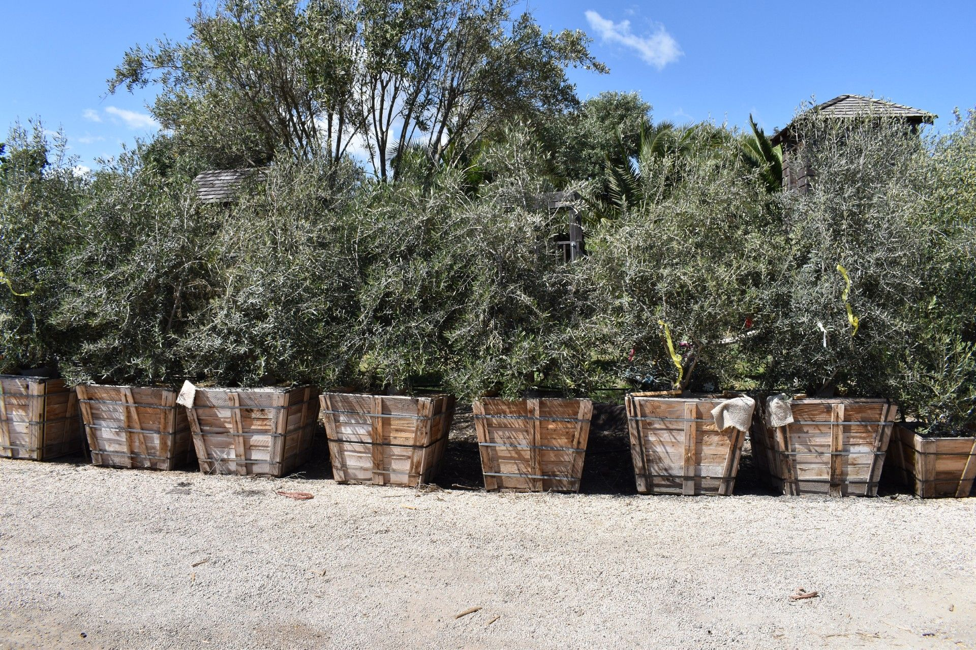 Olive Tree Farm Nursery Careful Selection, Delivery and