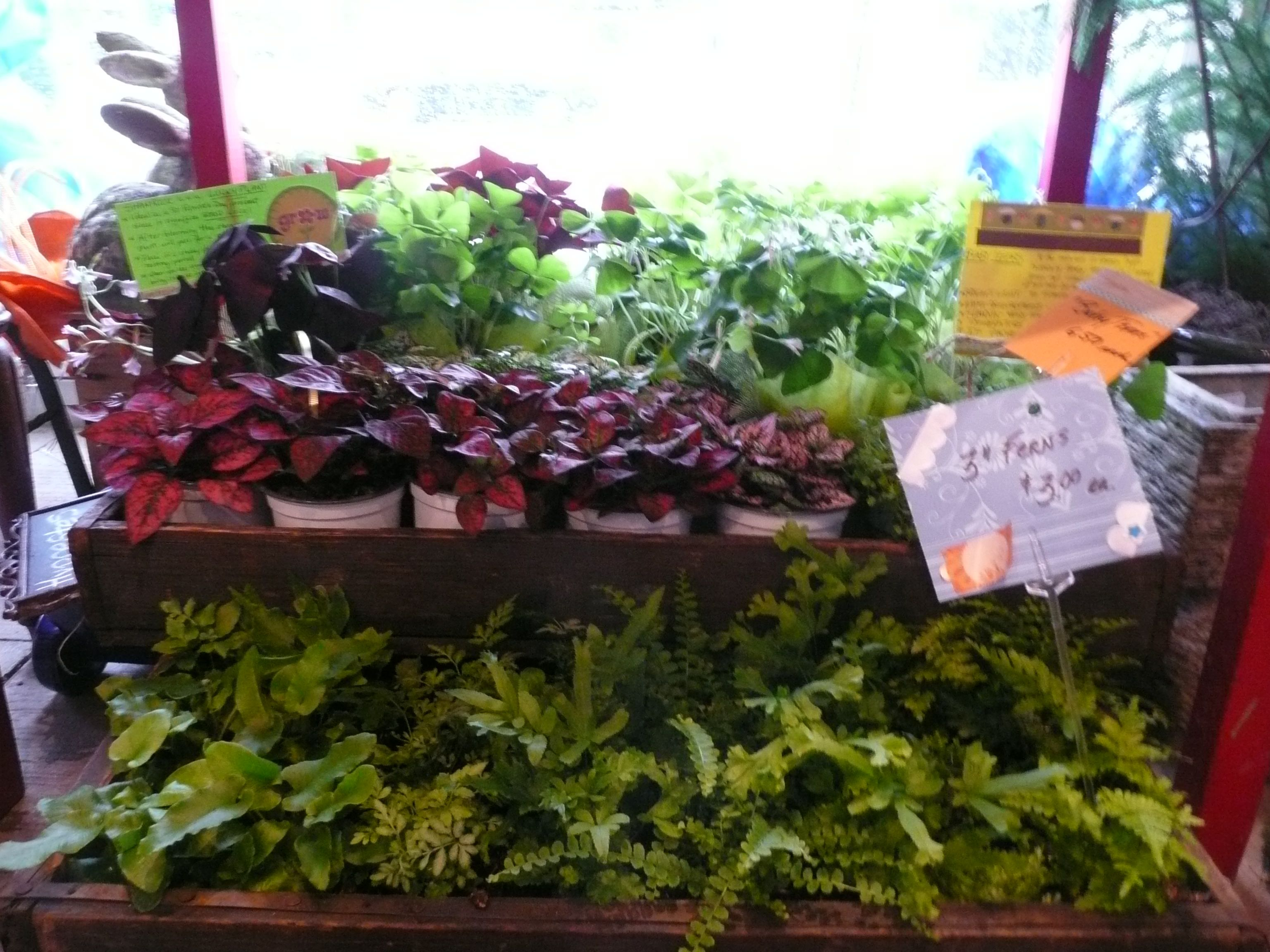 polka dot plant, ferns and shamrocks