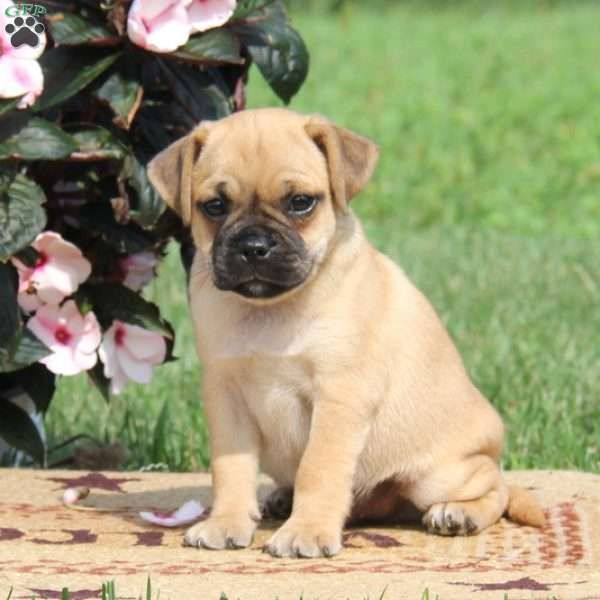 Sammy Irish Setter Puppy For Sale In Pennsylvania Puppies