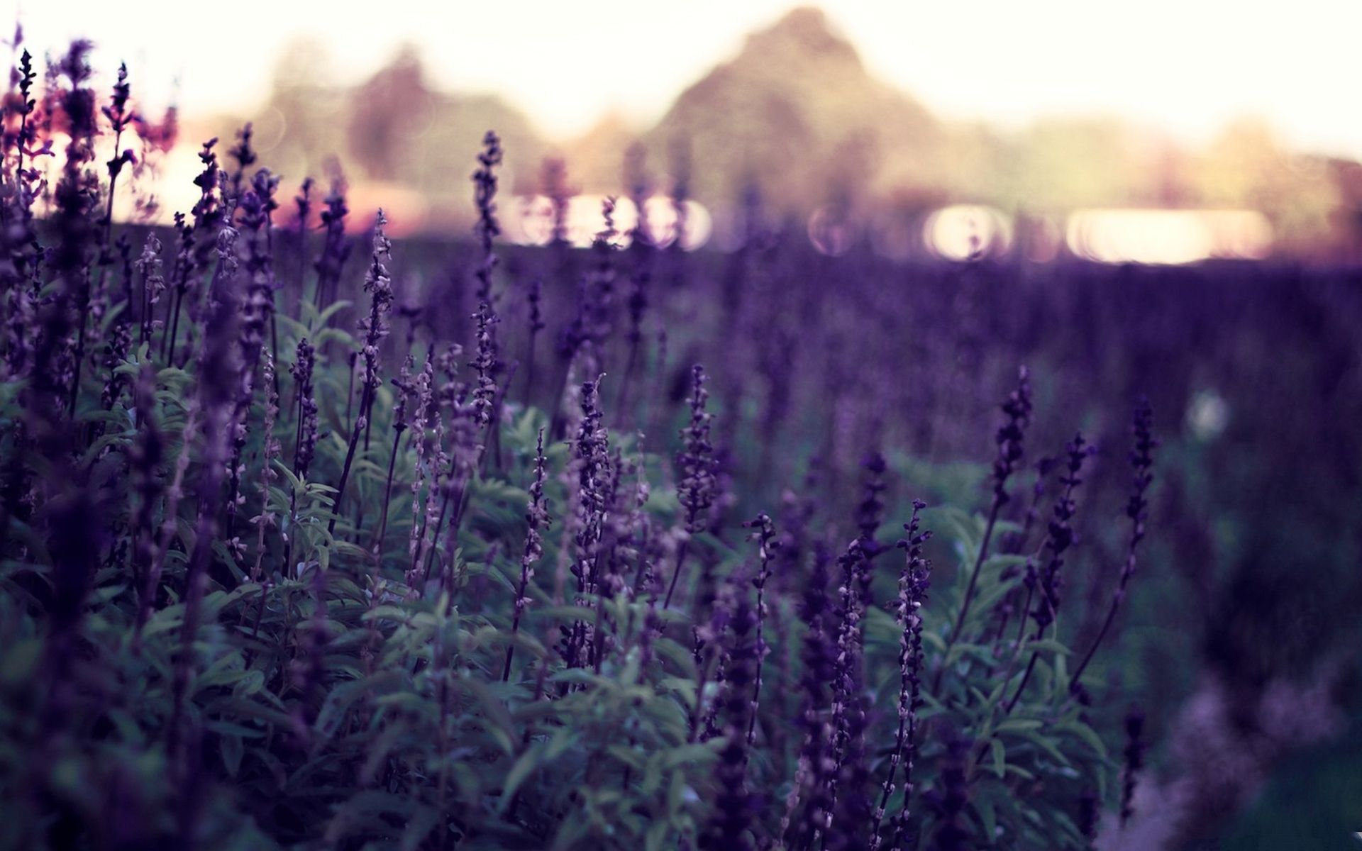 Lavender Flower Tumblr Wallpapers High Definition Beautiful Wallpapers High Resolution Quality 1920x1200 Px Flower Backgrounds Flower Wallpaper Field Wallpaper