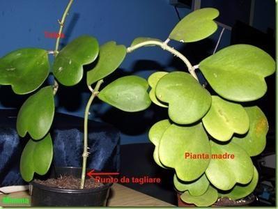 asclepiadaceae succulente - Cerca con Google