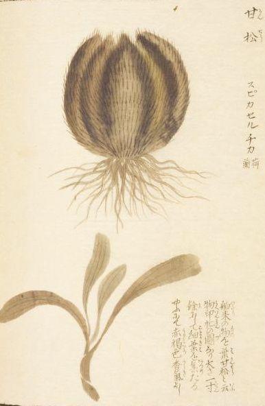Spikenard  甘松香(スパイクナード、ナルデ)   本草図譜  岩崎 灌園   Honzo-Zufu, KanEn Iwasaki (1830)