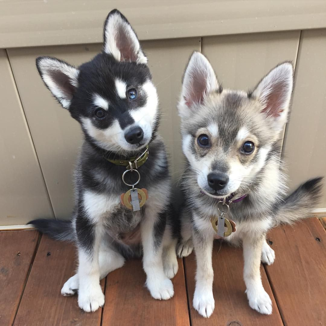 Image result for alaskan klee kai