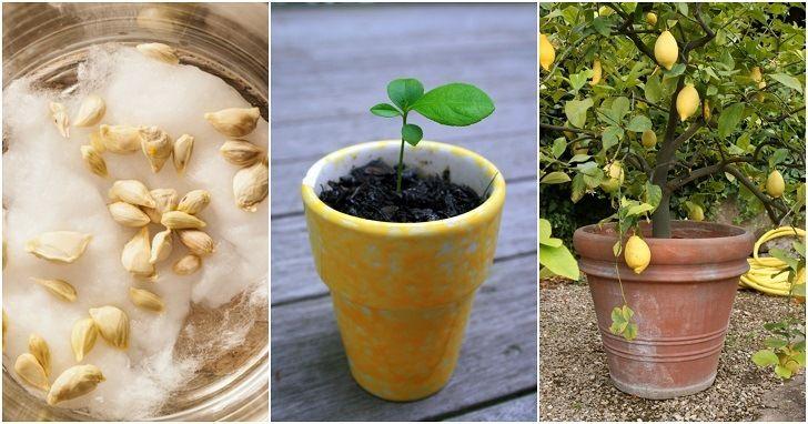 How To Grow A Lemon Tree From Seed No Matter Where You Live Lemon Tree From Seed Lemon Seeds How To Grow Lemon